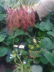 Клубника садовая крупноплодная ремонтнтная Альбион