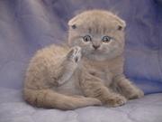 Британские котята-Вислоухие и Прямоухие-лиловый, голубой, чёрный, шоколад