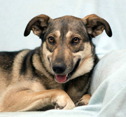 В ДАР! ШЕРРИ-молодая собака,  1 год. Стерилизована