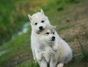 щенки Сибирских Хаски