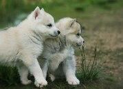 Шикарные щенки Сибирских Хаски различного окраса