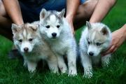 милые щенки породы сибирской хаски