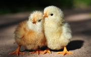 3-х дневные цыплята от домашних кур.
