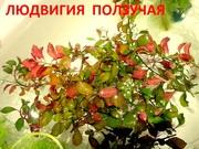 Людвигия ползучая.. Наборы растений для запуска и перезапуска
