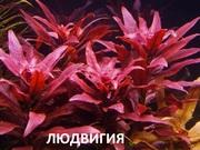 Людвигия ГЛАНДУЛОЗА. Наборы растений для ЗАПУСКА и перезапуска акваса