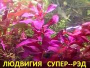 Людвигия СУПЕР--РЭД. Наборы растений для ЗАПУСКА и перезапуска