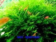 Мох крисмас -- аквариумные растения. Наборы растений для запуска аквас