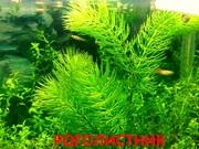 Роголистник -- аквариумные растения. Наборы растений для запуска акв-