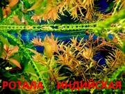 Ротала -- аквариумное растение и много разных растений/