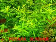 Ротала зеденая - аквариумное растение и много других разных растений/
