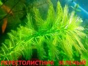 Перестолистник зеленый. Наборы растений для ЗАПУСКА и перезапуска акв-