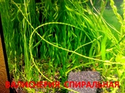 Валиснерия спиральная. НАБОРЫ растений для ЗАПУСКА и ПЕРЕЗАПУСКА акв/