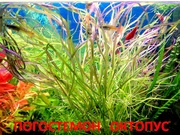 Аквариумные растения. Погостемон октопус. Наборы для запуска. ПОЧТ-