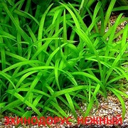 Эхинодорус нежный - аквариумные растения. Наборы растений для запуск=