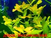 Дубок мексиканский - аквариумные растения. Наборы растений для запус--